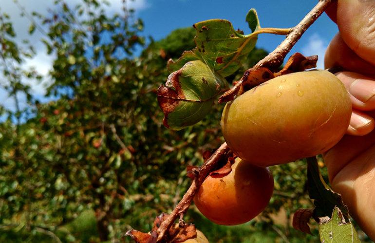 畑の甘柿熟れてます