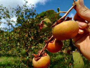 長崎で八月末に採れた熟れた甘柿