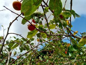 長崎市川原町の畑の柿の木