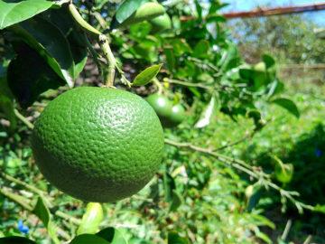 長崎の柑橘、ゆうこう(夏)