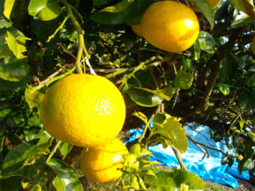 長崎の柑橘、ゆうこう(冬)