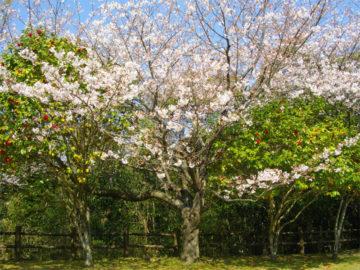 本宮公園の桜