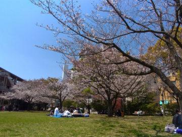 桜町公園の桜